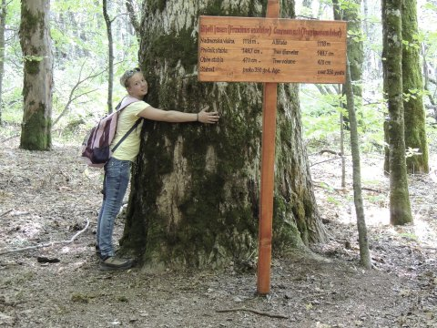 Rieseige Bäume im Biogradska Nationalpark
