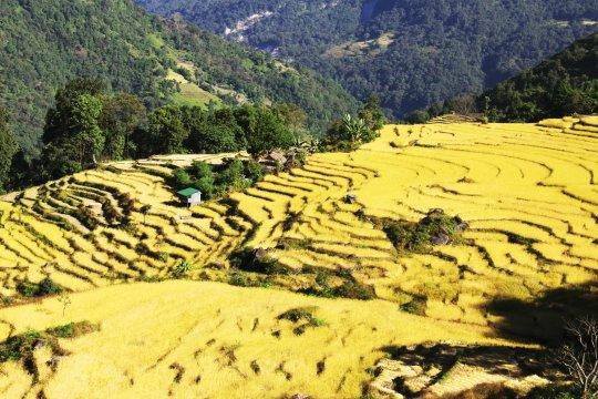 Reisfelder in der Nähe von Num
