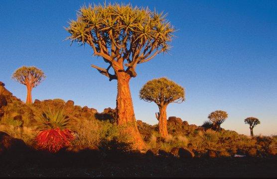 AF_BSK_Namibia_Kokerboom_tree_6763