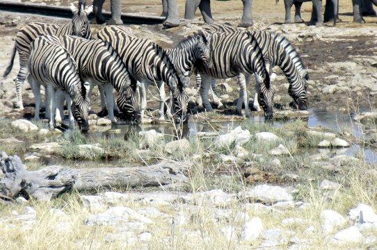 Zebras am Wasserloch vor Elefantenbeinen - Etosha Zebras am Wasserloch 2