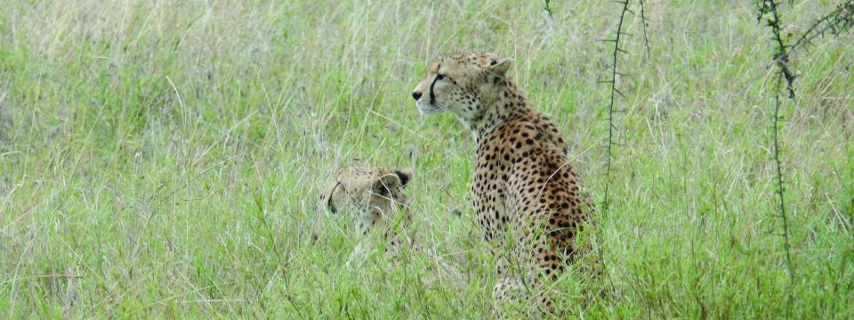 Geparde in der Serengeti