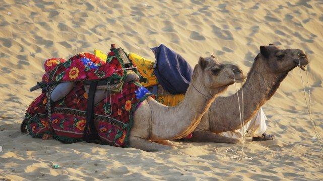 Kurze Rast für die Kamele in der Thar-Wüste