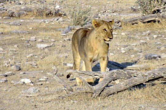 Löwin macht sich auf den Weg... Loewe macht sich auf den Weg 2