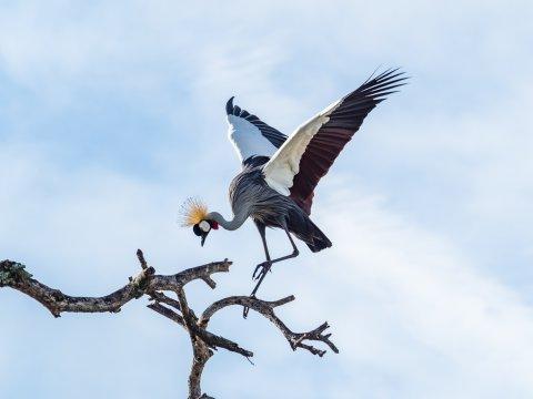Kronenkranich bei der Landung in Tansania