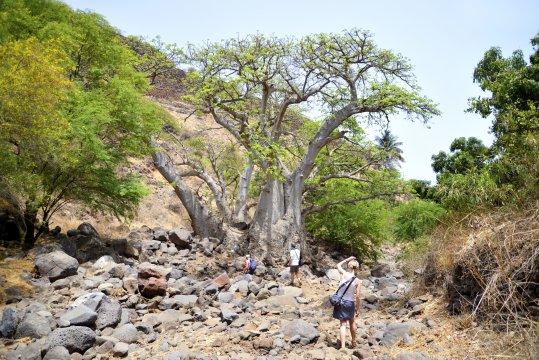 Baobab im Ribeira Tal_2