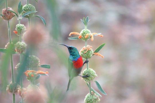 Südafrika-Kolibri-an-der-Pflanze