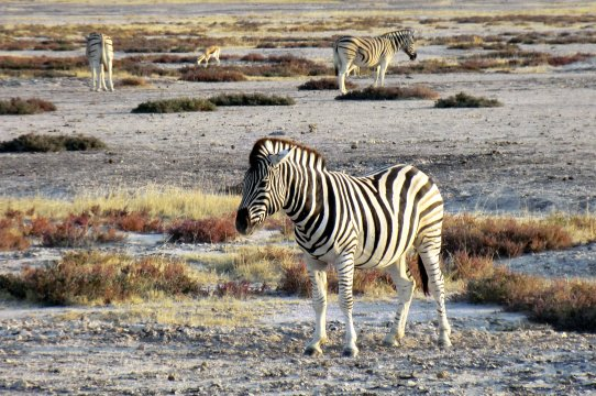 Zebras auf der Salzpfanne_2