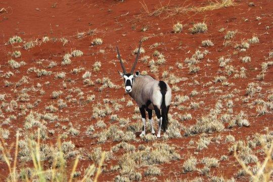Oryx in der Namib_2