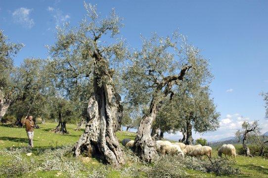 Schäfer im Olivenhain