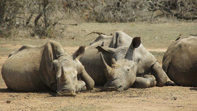 Nashörner in Swaziland