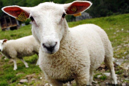 Neugierige Schafe unterwegs