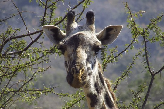 Giraffe nah Chyulu