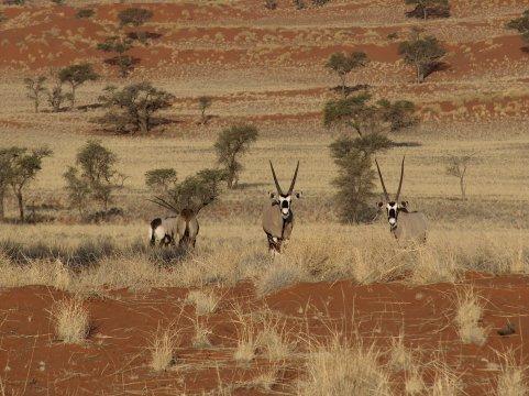 Oryxantilopen in der Namib