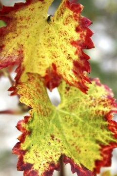 Weinlaub im Herbst_2
