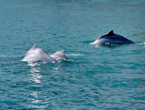 Mussandam, Dhaw-Fahrt, Delfine Familie
