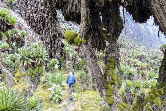 Senezien im Ruwenzori-Gebirge