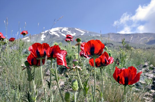 AS_ARE_Mohn_am_Fuss_des_Damavand_2