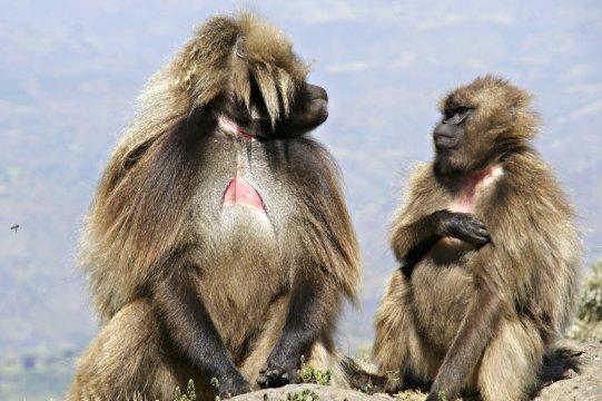 Gelada Baboon Paviane mit Blutherz
