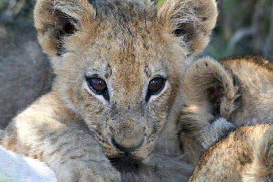 Löwenbaby_2