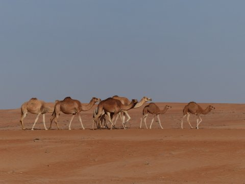 Oman-Wahiba-Sands-Kamele