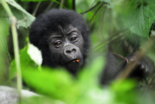 Gorilla Baby_2