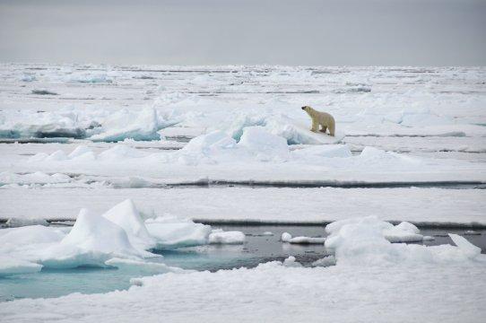 Spitzbergen Eisbär Packeis