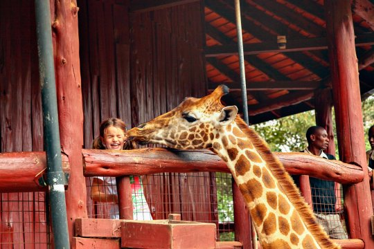 Giraffe Center Auge in Auge