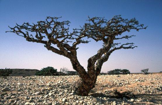 Weihrauchbaum Dhofar