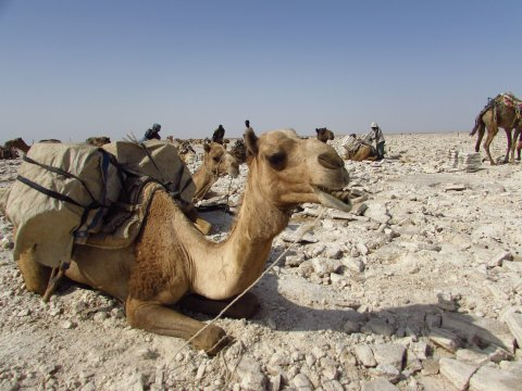 Kamelpause in der Danakil-Wüste