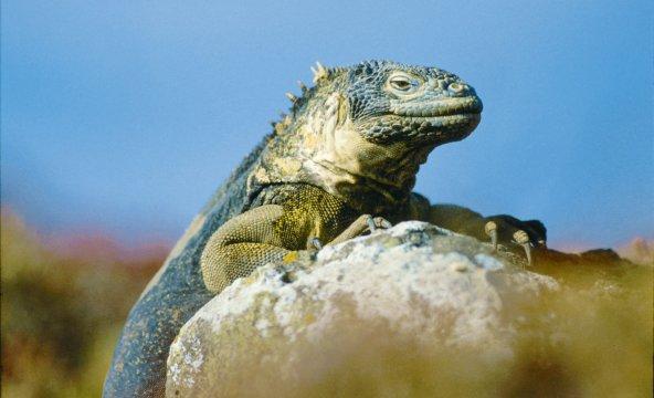 Iguana auf dem Stein