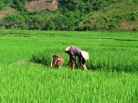 Reisbauer bei Mai Chau