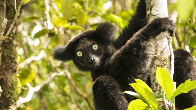 Indri Lemur_2