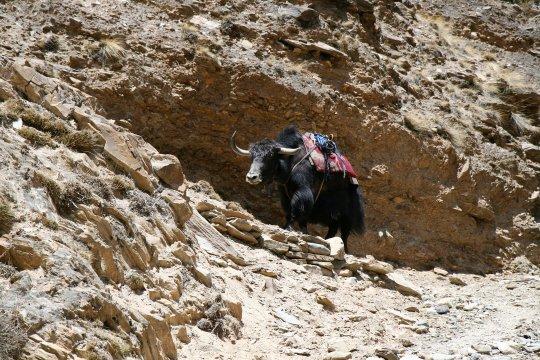 Yak auf Trekkingroute