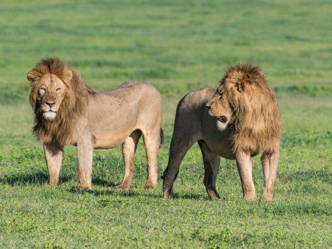 Löwenmännchen in Tansania