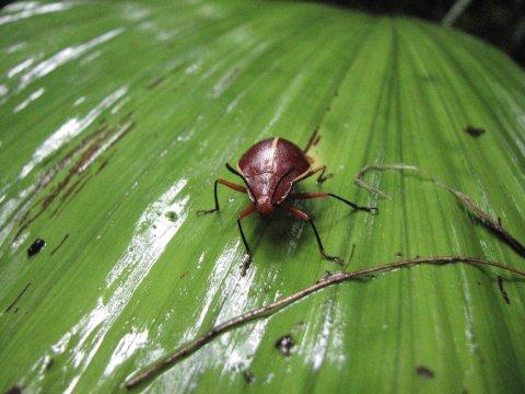 Kaefer auf Blatt im Amazonas