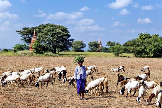Bagan Thambula Ziegenhirtin_2