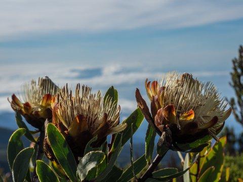 Pflanzen in der Moorlandschaft am Kilimanjaro