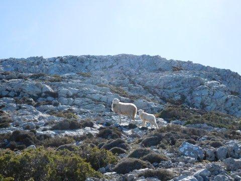 Schafe am Puig Tomir