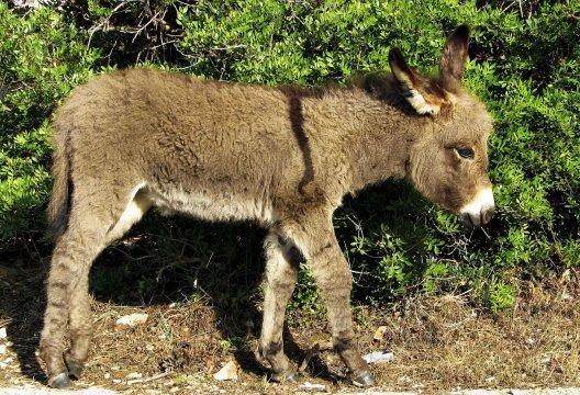 Esel im Kroatien_2