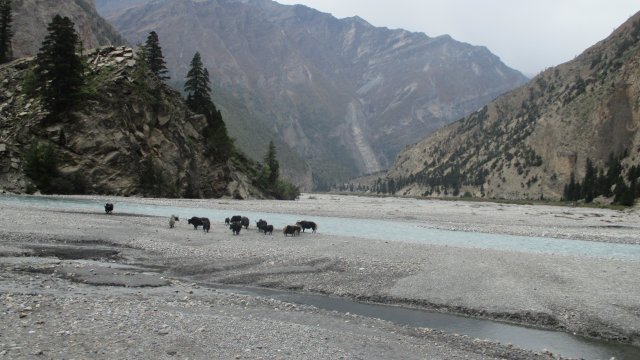 Jakherde an einem Fluss im Dolpo