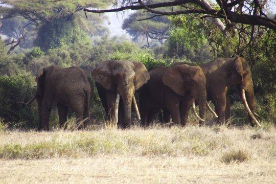 Alte Elefanten im Amboseli Nationalpark