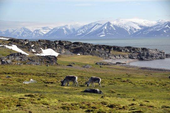Rentiere Weite Landschaft Wiesen Spitzbergen