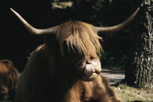 Schottland - Ein Rind auf Bauernhof