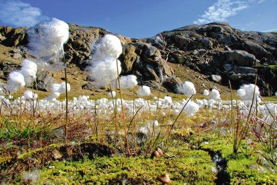 Wollgras in Grönland