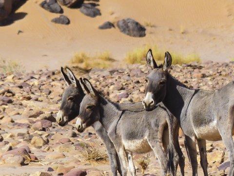 Tiere Esel Wildesel Algerien_2