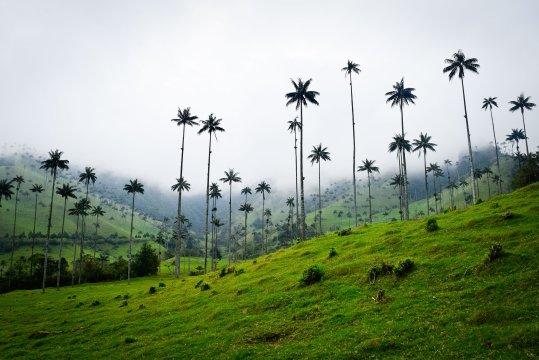 Kolumbien - Die höchsten Palmen der Welt