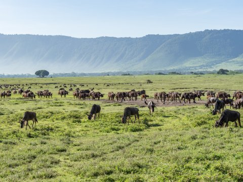 Ngorongoro Krater mit Gnus und Büffeln in Tansania