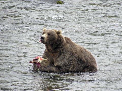Katmai Baer frisst Fisch