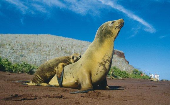 Seehund-Familie auf Galapagos