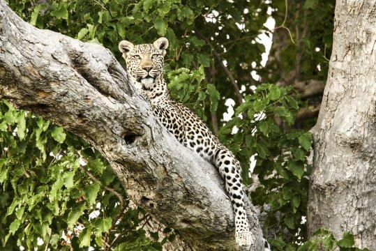 Leopard im Baum_2